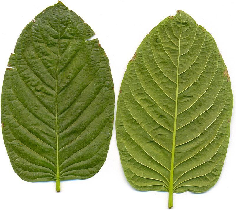 The Number One Question You Have To Ask For Kratom Powder